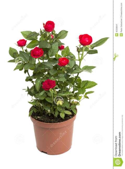 Imagen planta rosal