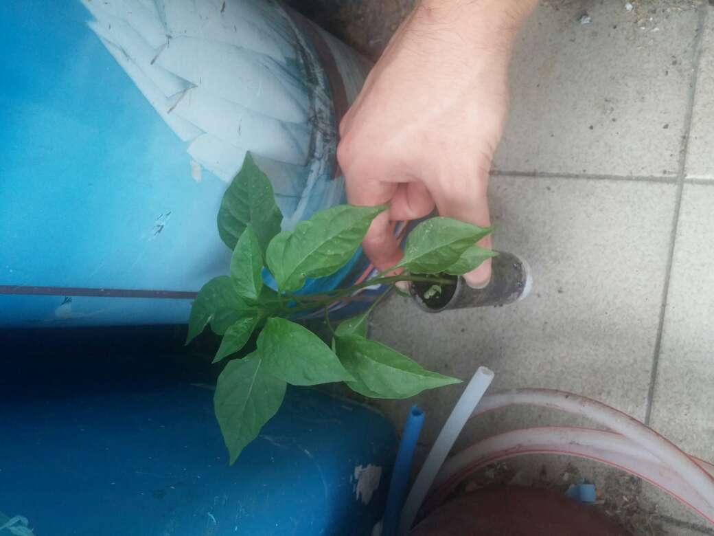 Imagen planta de guindilla del albol