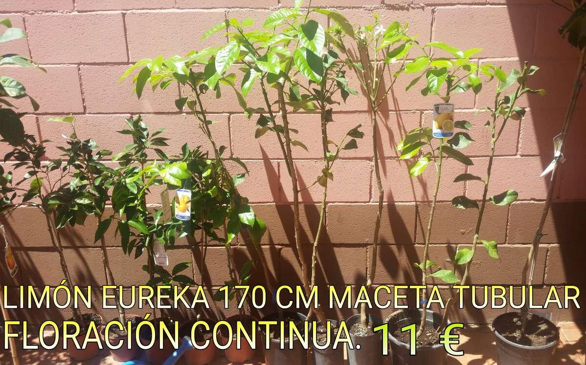 Imagen producto Árboles Badajoz capital. 2