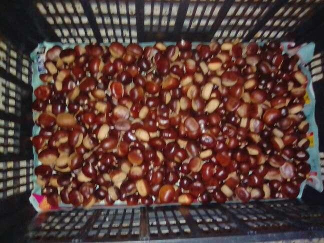 Imagen se vende castañas recién cojidas del  castaño nuevas se vende por kilo la bolsa normal