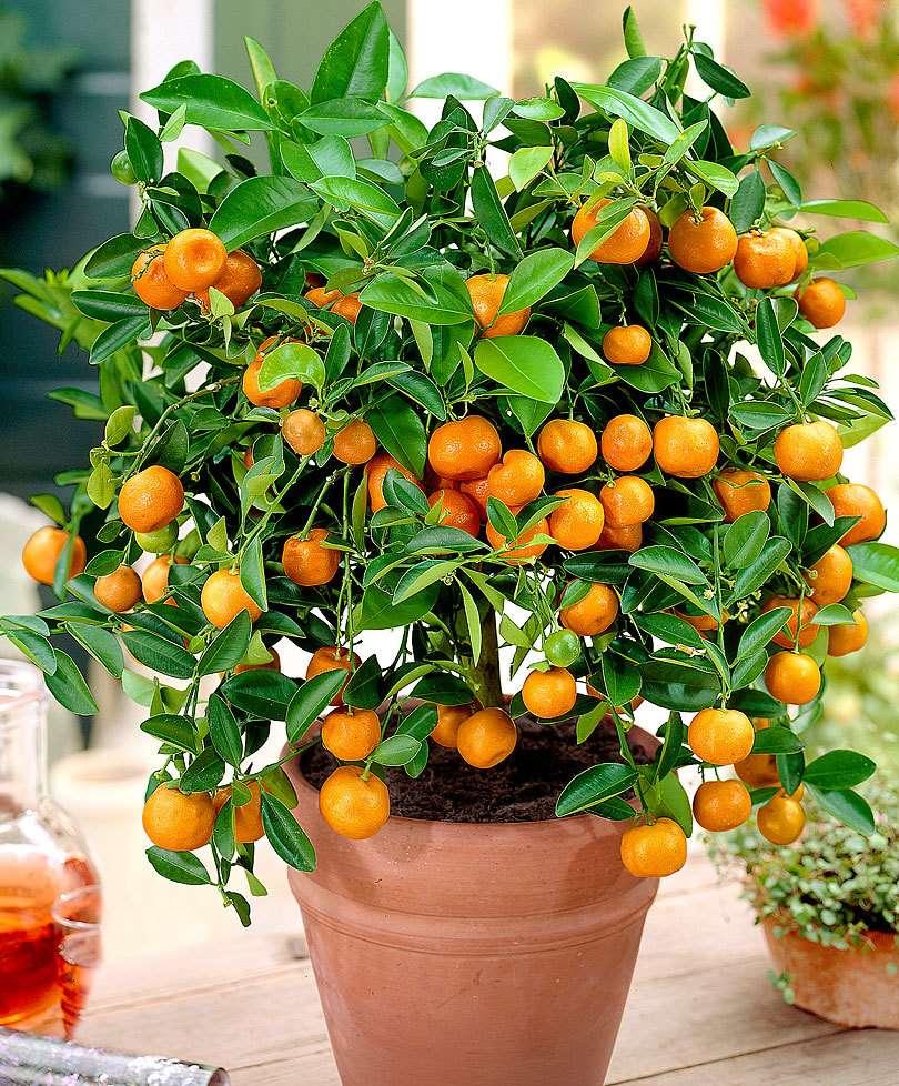 Imagen Esquejes de citrus calamondin (Mandarino)