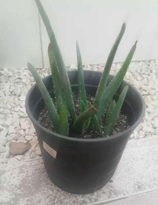 Imagen Macetas de Aloe vera