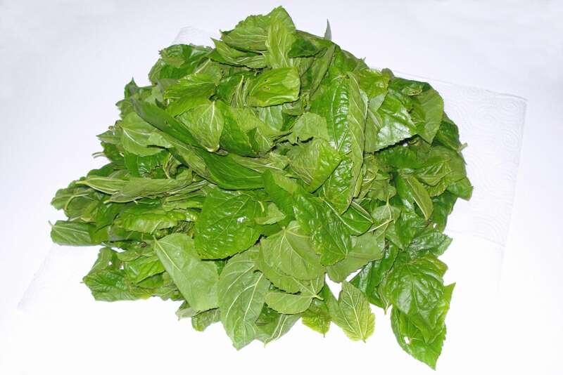 Imagen producto Bolsa con 450 grs de hojas de morera Morus Alba 2