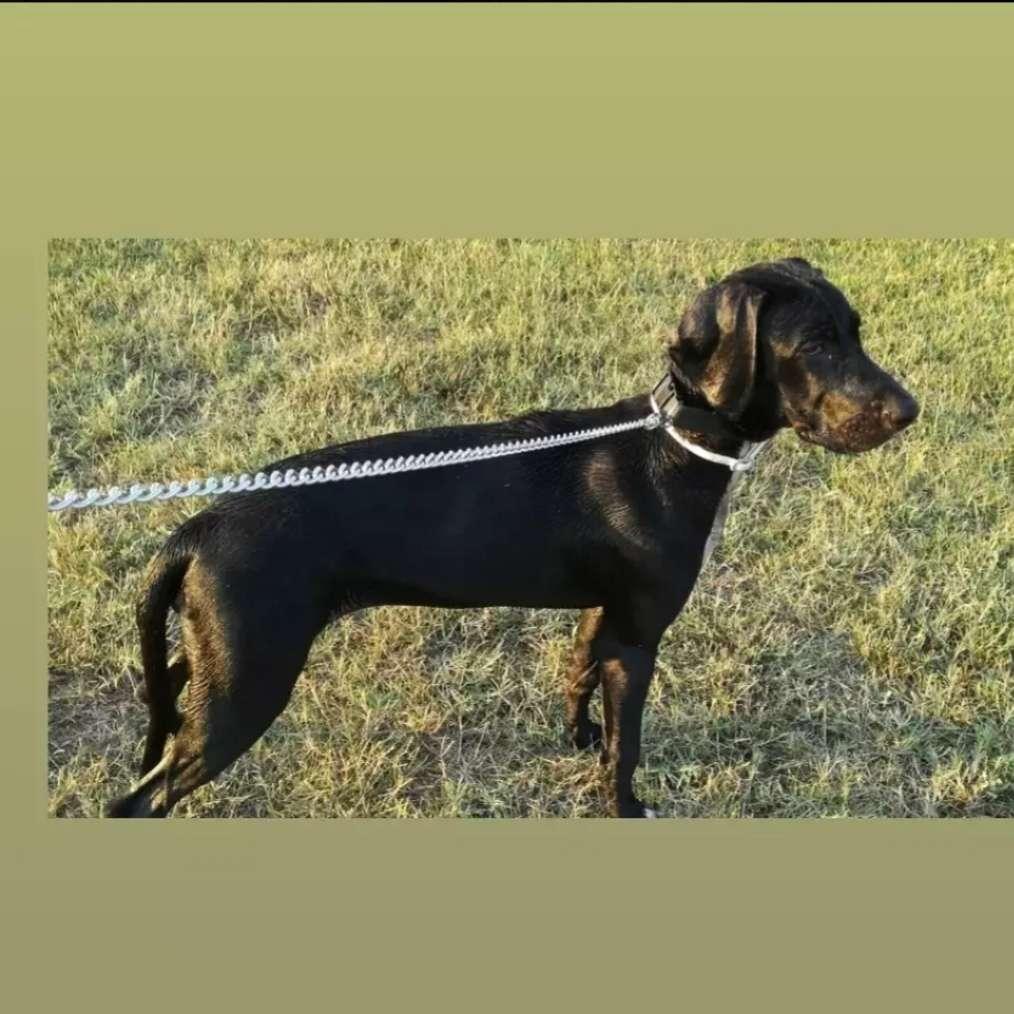 Imagen producto Paseadora de perros 2