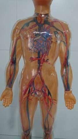 Imagen producto Juguete (Sistema Circulatorio)  5