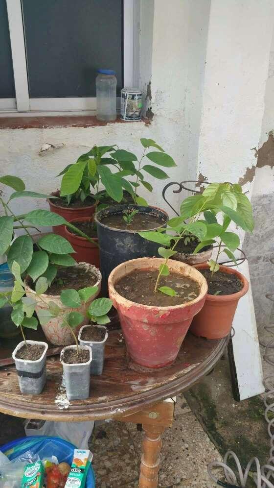 Imagen Plantas de chirimollas