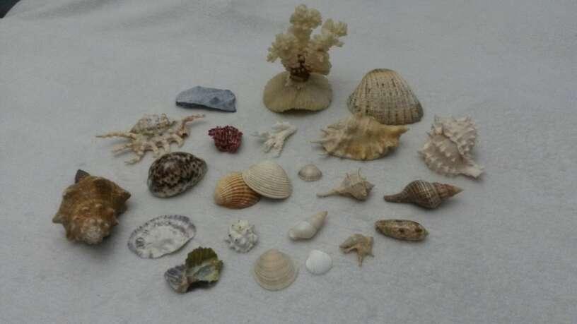 Imagen producto Lote surtido de conchas y caracolas de mar 4