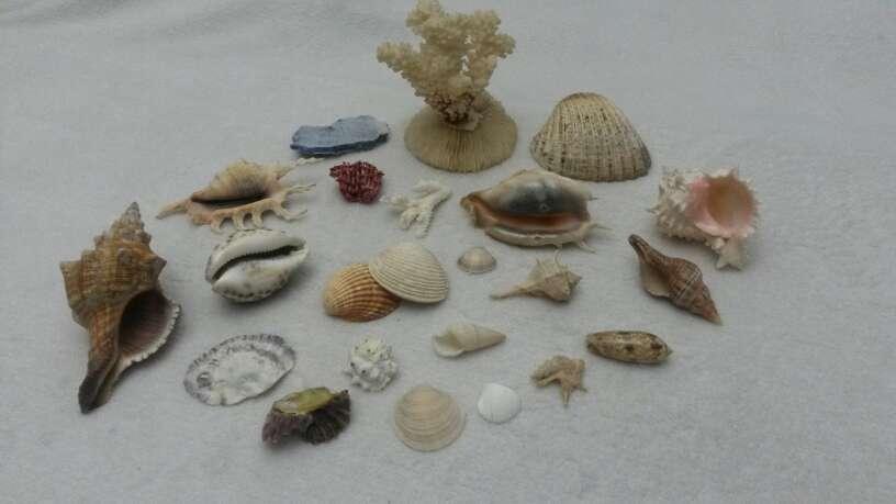 Imagen producto Lote surtido de conchas y caracolas de mar 5