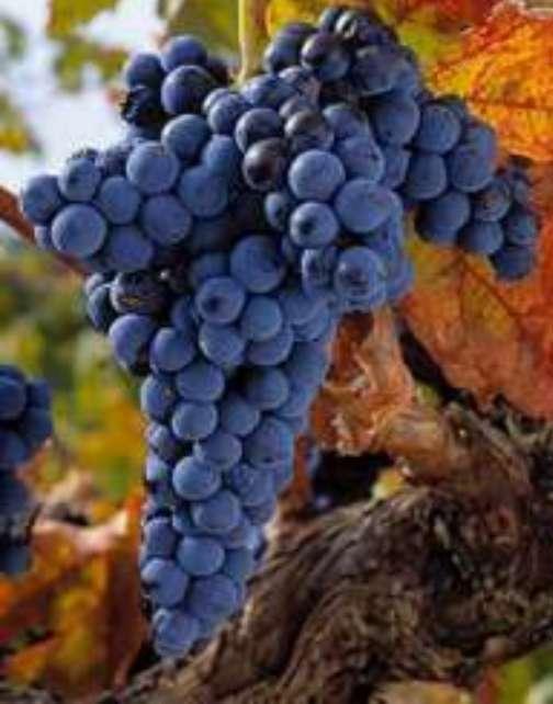 Imagen vendese uvas tintas