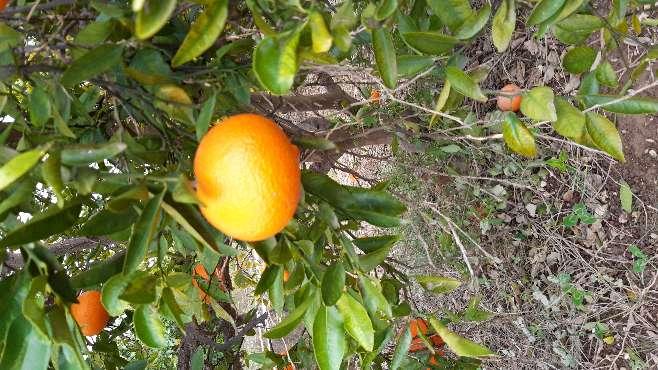 Imagen se vende naranja variedad ortanique y navel lane late