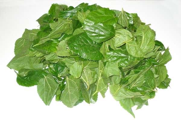 Imagen producto Bolsa de 500 grs de hojas de morera Morus Alba 1