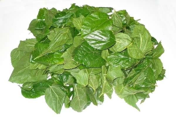 Imagen producto Bolsa de 500 grs de hojas de morera Morus Alba 2