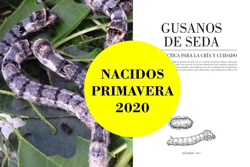 Imagen Lote de 20 gusanos de seda Morunos Cebrados [nacidos] + guía práctica