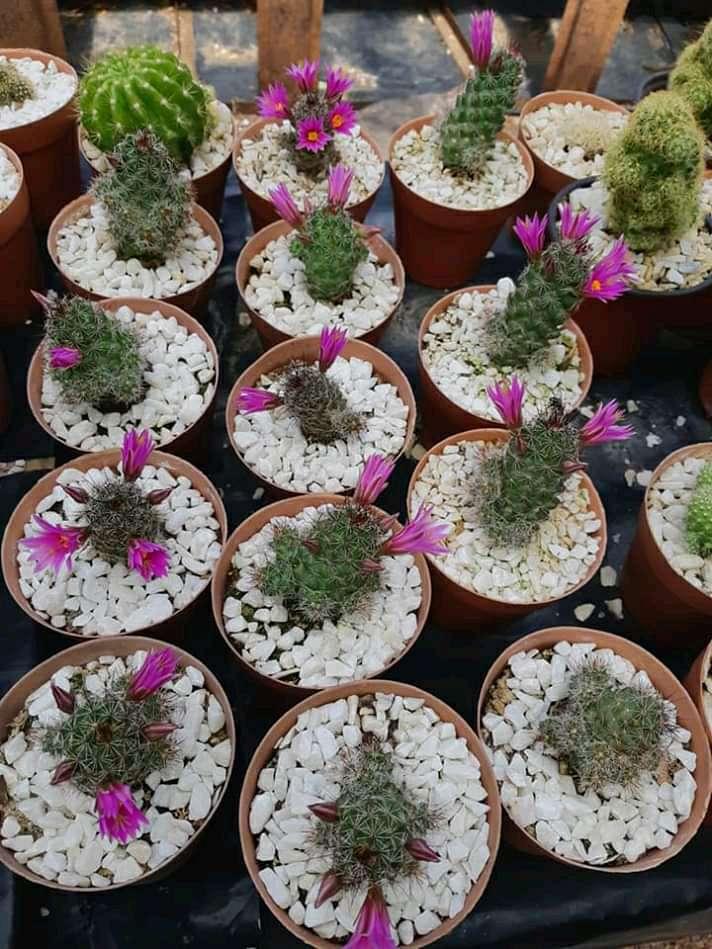 Imagen Cactus, Crazas y Suculentas