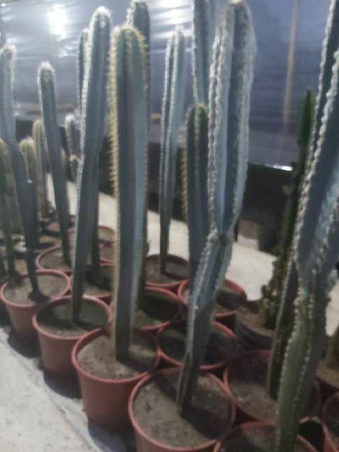 Imagen Cactus(columnares )