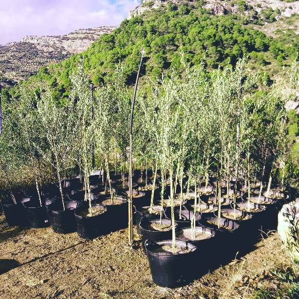 Imagen se venden olivos
