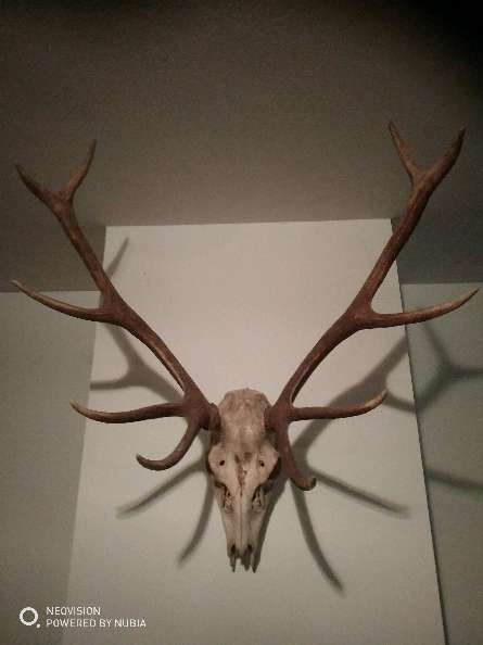 Imagen cabeza de ciervo