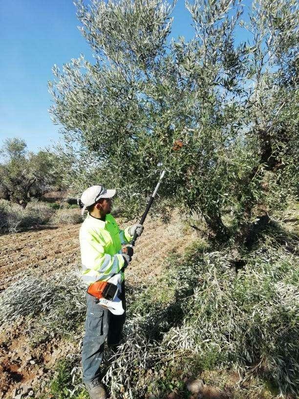 Imagen podar olivos i talla árboles