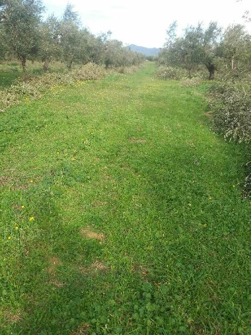 Imagen producto Podar olivos i talla árboles  2