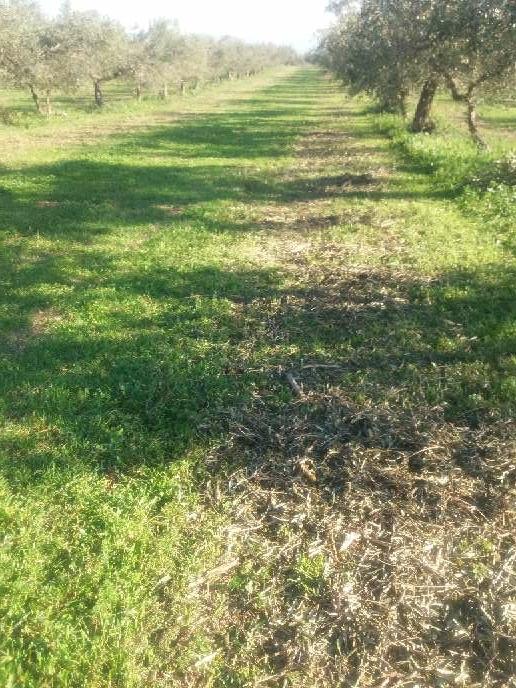 Imagen producto Podar olivos i talla árboles  3