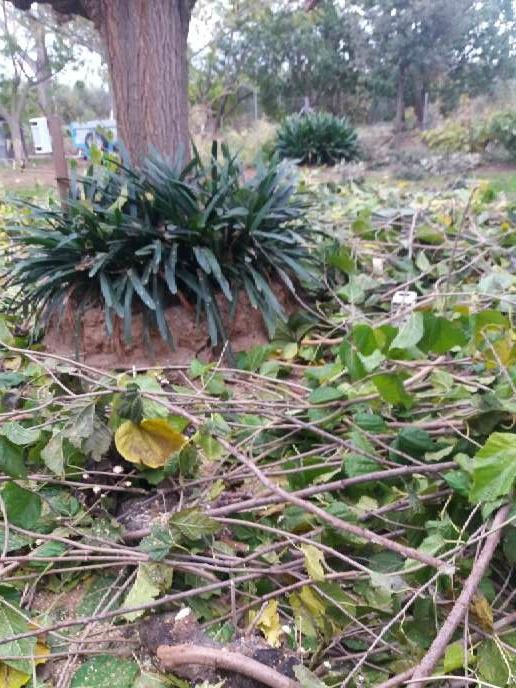 Imagen producto Podar olivos i talla árboles  6