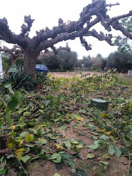 Imagen producto Podar olivos i talla árboles  5